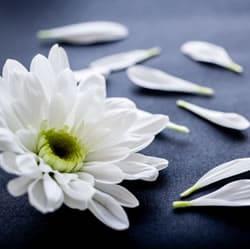 白菊イメージ