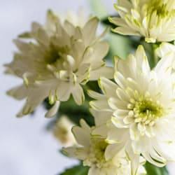 淡黄色小菊
